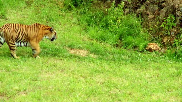 vídeos y material grabado en eventos de stock de tiger - tigre