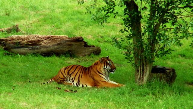 Tiger video