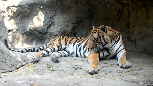 タイガー ビデオ