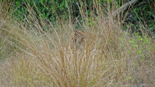 Tiger walking away behind grass bush