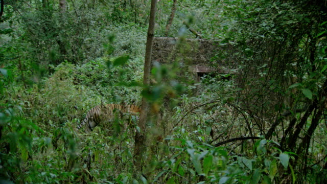 Tiger walking in bush