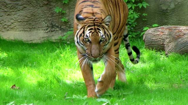 Tiger Walking In Grass 03 video