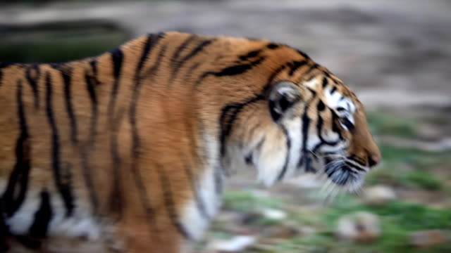 Tiger walking. video