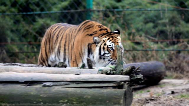 Tiger zu Fuß. – Video