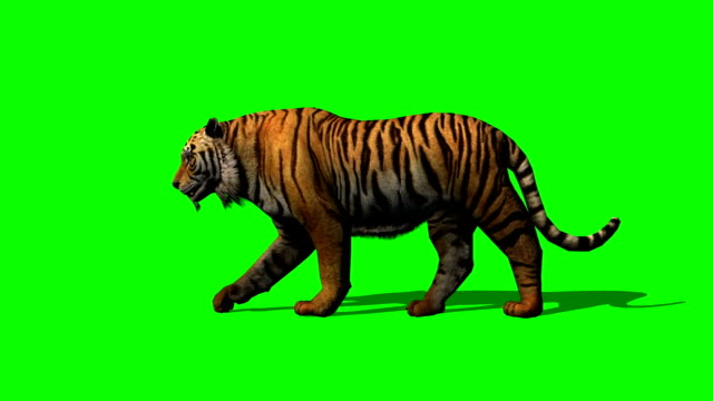 tiger walks on green screen video