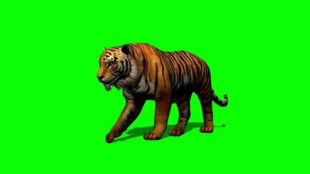 tiger går på grön skärm - leopard bildbanksvideor och videomaterial från bakom kulisserna