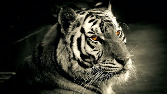 Tiger With Glowing Orange Eyes video