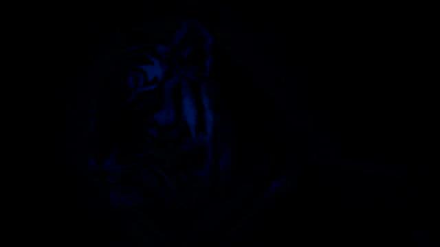 vídeos y material grabado en eventos de stock de bostezos en la noche del tigre - tigre
