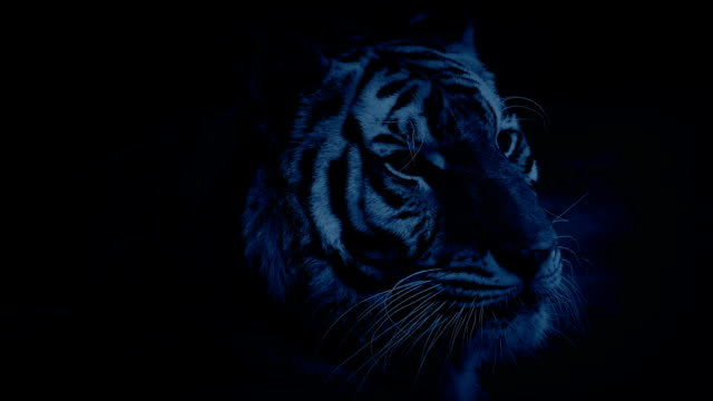 Tiger Yawns And Licks Lips In Night Jungle video