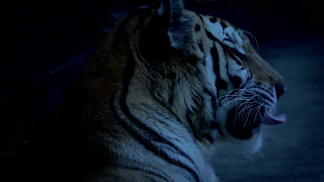tiger gäspar på kvällen - tiger bildbanksvideor och videomaterial från bakom kulisserna