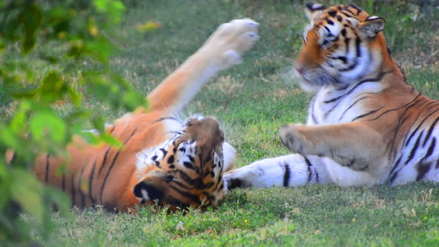 Tigres luta jogo - vídeo