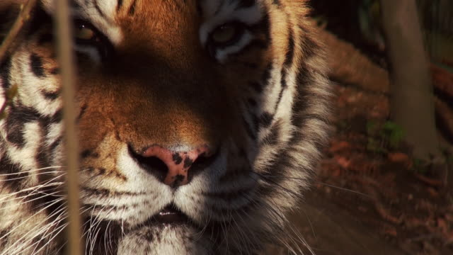Tigers in forest video