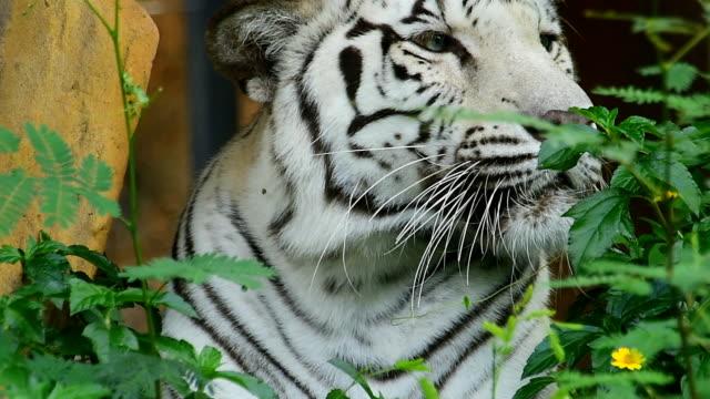 タイガースホワイト ビデオ