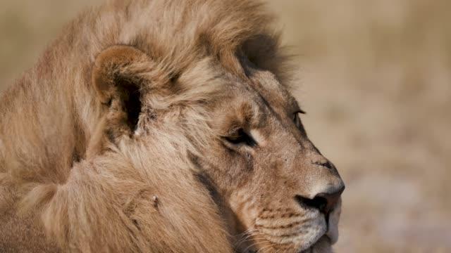 雄のライオンを見て回って、ボツワナのタイトな肖像画 - 動物の雄点の映像素材/bロール