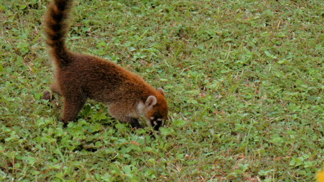 Tight shot of a wild coati foraging for food. video