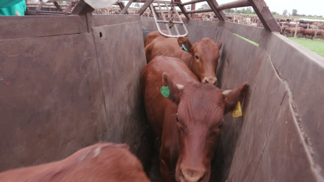 Tight shot of cattle being herded through a cattle crush video