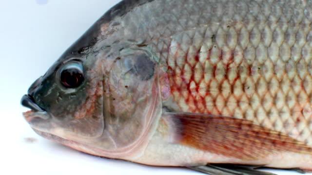 vidéos et rushes de tilapia sur fond blanc - nageoire caudale