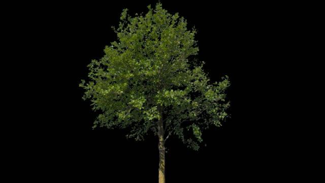 tilia isolated tree - fronda video stock e b–roll