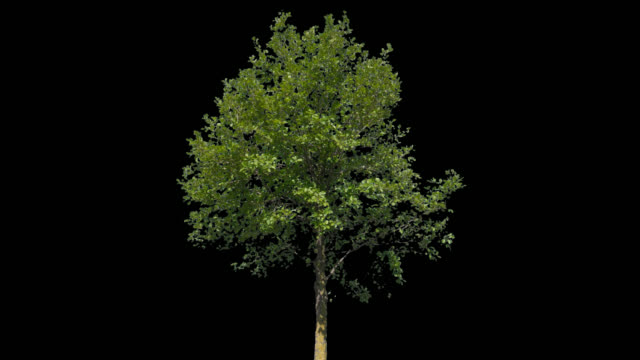 Tilia Isolated Tree