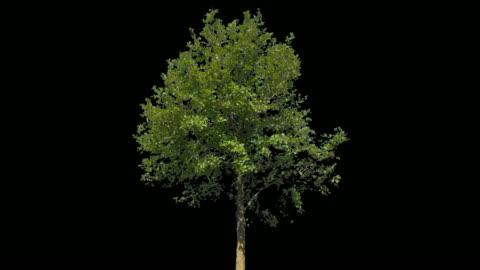 vídeos y material grabado en eventos de stock de árbol aislado de tilia - viento