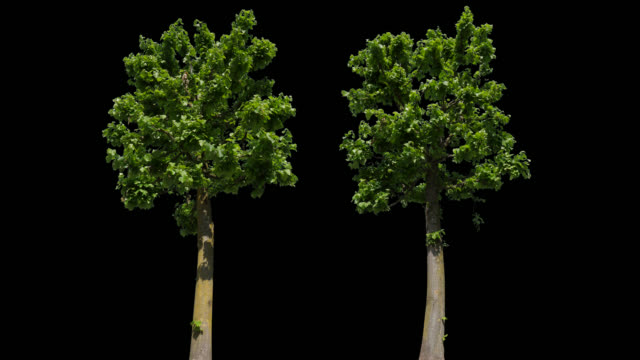 Tilia Isolated Tree - video