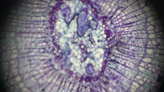 tilia stem c.s.under light microscopy - клубень стоковые видео и кадры b-roll