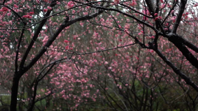 tilt down of beautiful plum blossom in rain day - tilt down stock videos & royalty-free footage