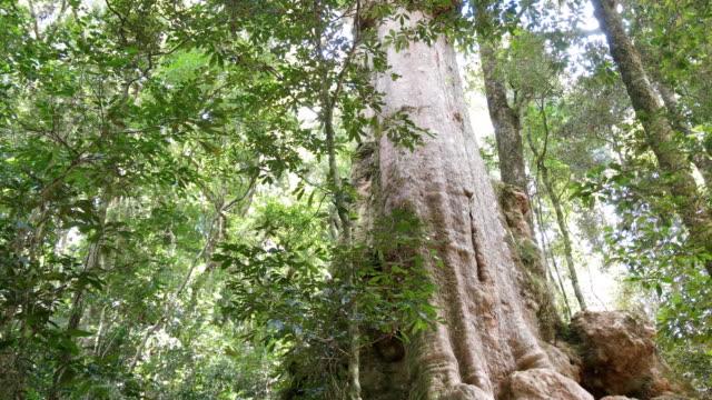 tilt down shot of a rain forest tree trunk at lamington national park - tilt down stock videos & royalty-free footage