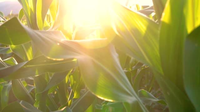 Tilt up camera movement green corn field in agricultural garden Thailand. Crane shot