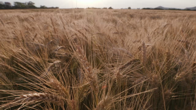 Tilt up close-up shot of wheat on a large scale industrial farm video