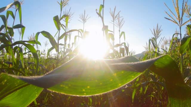 Tilt up of  Landscape green corn farms in agricultural garden Thailand. Crane shot, size 4k Tilt up of  Landscape green corn farms in agricultural garden Thailand. Crane shot, size 4k biofuel stock videos & royalty-free footage