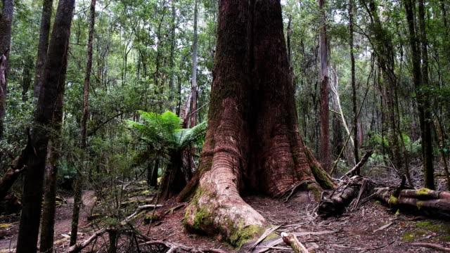 stockvideo's en b-roll-footage met kantelen omhoog shot van een enorm moeras gom boom in tasmanië - reus fictief figuur