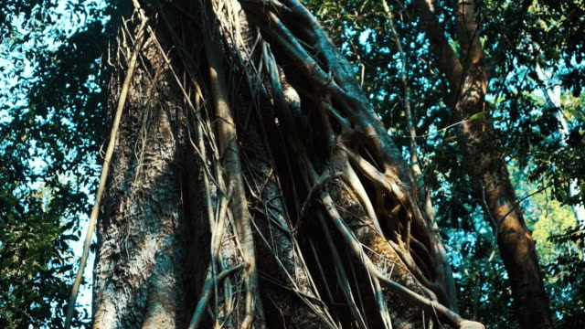 tilt up shot of banyan tree in the forest - albero tropicale video stock e b–roll