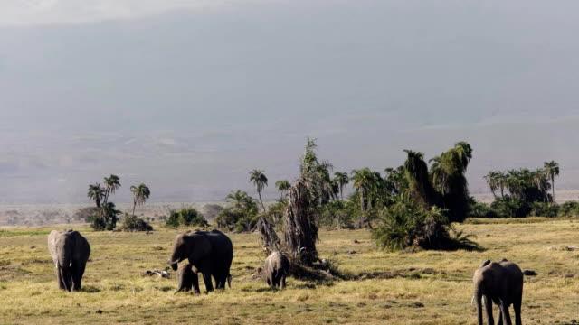 tilt up shot of mt kilimanjaro and elephants at amboseli