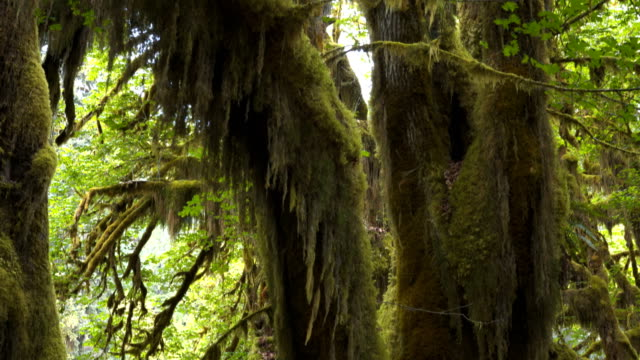 tilt up view of a maple tree trunk and canopy at the olympic np