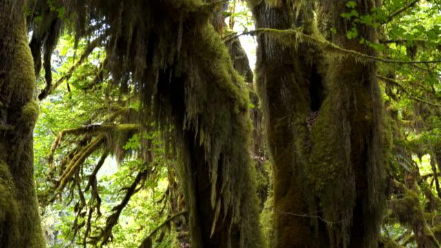 bir akçaağaç ağaç gövdesi ve gölgelik görünümü olimpiyat np eğimli - kubbe stok videoları ve detay görüntü çekimi