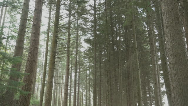 tilt up view tree in summer forest ,Northern Ireland tilt up view tree in summer forest ,Northern Ireland pine tree stock videos & royalty-free footage