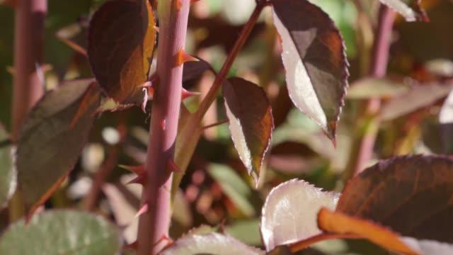 Tilting on Rosaceae family flower leaflets and epidermis prickles 4K