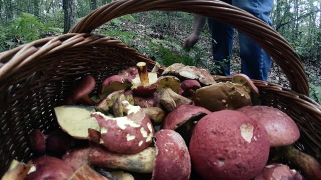 tim elapse: mogna mannen samla svamp i de appalachian skog i poconos, pennsylvania - höst plocka svamp bildbanksvideor och videomaterial från bakom kulisserna