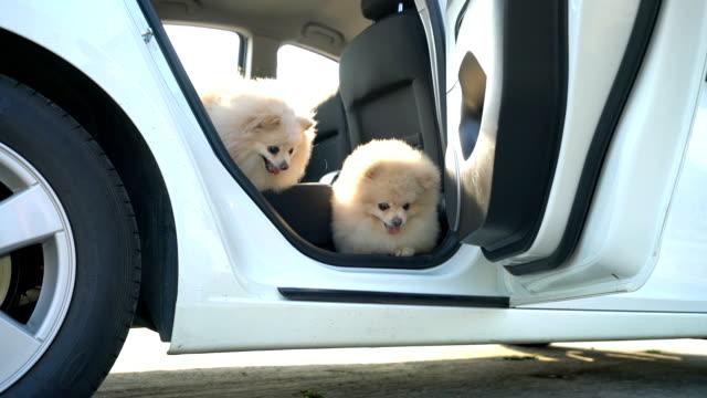 zeit für die reise. zwei pommerschen hunde, sie sind glücklich, wenn türen ausgeht. - dog car stock-videos und b-roll-filmmaterial