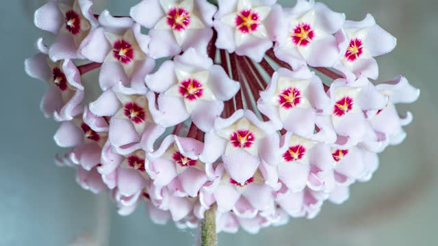 Time lapse Blooming Ball Orchid Flowers - Hoya Carnosa, Flower Chandelier,Flower nectar