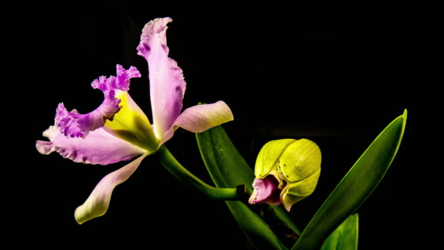 時間経過 - 咲くカトレア花黒背景 - 4 k への - 異国情緒点の映像素材/bロール