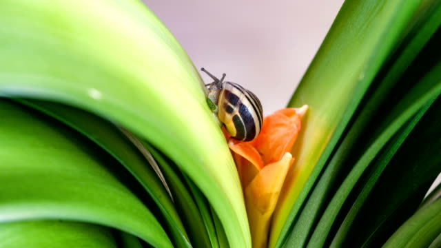 Time Lapse Blooming Clivia Lily and Climbing Snail
