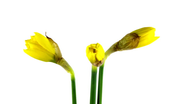 Time Lapse - Blooming Daffodil video