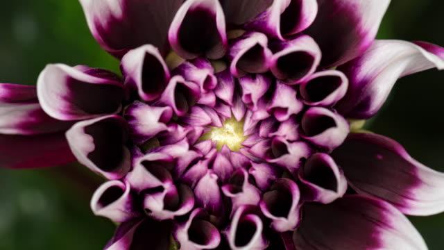 vídeos de stock e filmes b-roll de 4k time lapse blooming flower dahlia - florescer
