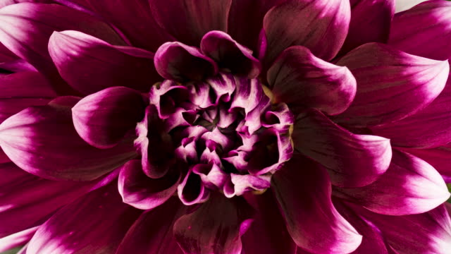 4K Time lapse blooming flower Dahlia