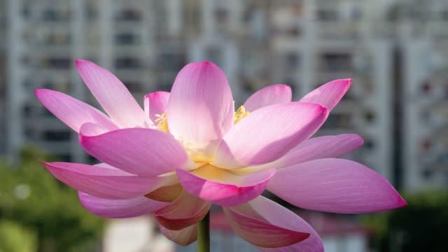 vídeos de stock, filmes e b-roll de lapso de tempo que floresce de uma flor de lótus cor-de-rosa, da noite à manhã, metragem 4k, timelapse. - lotus
