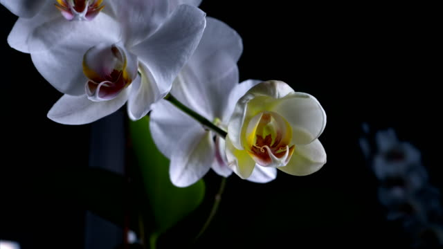 Time Lapse blooming orchids Phalaenopsis.