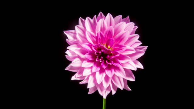 time lapse - blooming pink dahlia flower - 4k - fiori video stock e b–roll