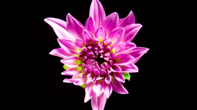 time lapse di fioriture rosa fiore di dahlia - fiori video stock e b–roll